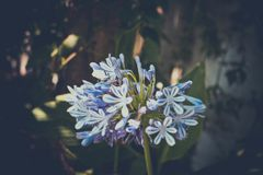 Blue fantasy flowers with bokeh Royalty Free Stock Image