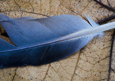 Blue feather Royalty Free Stock Photography