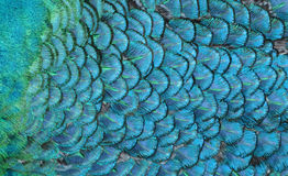Blue Feathers. Macro photo of blue bird feathers Royalty Free Stock Photography