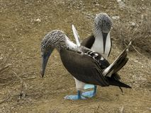 Blue feet gannets Royalty Free Stock Photography