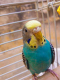 Blue female budgie royalty free stock images