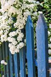 Blue fence with white flowers Royalty Free Stock Photos
