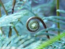 Blue fern unfurling Stock Image