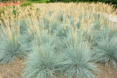 Blue fescue Stock Photography
