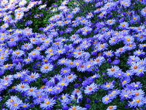 Blue field. Blue flowers Royalty Free Stock Photography