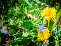 Blue field butterfly Argead and yellow dandelions Royalty Free Stock Images