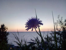 Blue field flower, cornflower, on the background of the river, grass, sunset, water. Dark silhouette of a flower on a Stock Photos