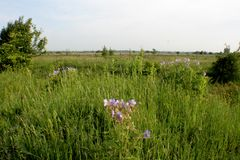 Blue field flowers landscapes of Ukraine. Blue field flowers on the background of green grass and magnificent Ukrainian landscapes. A good photo with a varied Royalty Free Stock Photo