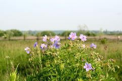 Blue field flowers landscapes of Ukraine. Blue field flowers on the background of green grass and magnificent Ukrainian landscapes. A good photo with a varied Royalty Free Stock Photography