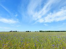 Blue cornflowers  in field, Lithuania Royalty Free Stock Image