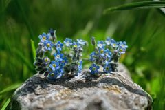 Blue field flowers on a stone on a beautiful green background. A lot of grass in the back stock image