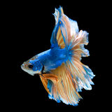 Blue fighting fish Stock Image