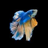 Blue fighting fish Stock Photos