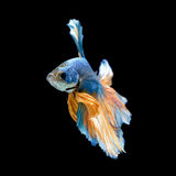 Blue fighting fish Royalty Free Stock Photography