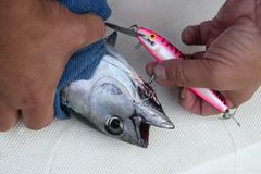Blue fin bluefin tuna catch and release Stock Photos