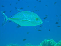 Blue fin Jack fish. Bluefin Trevally Royalty Free Stock Photos
