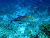 Blue Fin Trevally Egypt Royalty Free Stock Photos