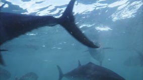 Blue fin tuna. Feeding frenzy of farmed bluefin tuna stock footage