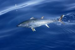 Blue fin tuna Mediterranean fishing and release Royalty Free Stock Photo