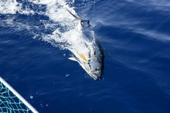 Blue fin tuna Mediterranean fishing and release Royalty Free Stock Images