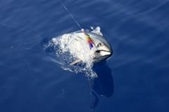 Blue fin tuna Mediterranean fishing and release Royalty Free Stock Image