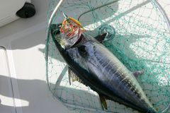 Blue fin tuna Mediterranean fishing and release. Blue fin tuna Mediterranean big game fishing and release Royalty Free Stock Photo