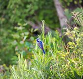 Blue finch yellow-billed blue finch Porphyrospiza caerulescens s royalty free stock images