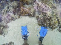 Blue fins and coral reef underwater, top view photo. Diver standing in sea water. Diving or snorkeling banner template. Blue fins and coral reef underwater, top stock images