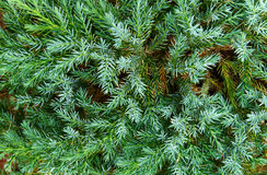 Blue fir stock photo