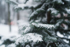 Blue fir branches covered with snow after snowfall Stock Images