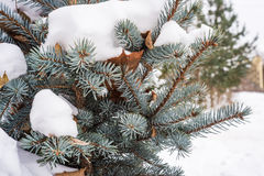 Blue fir cones and needles under the snow. Royalty Free Stock Photo