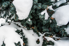 Blue fir cones under the snow. Royalty Free Stock Image