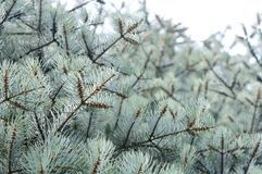 Blue Fir Tree Stock Image