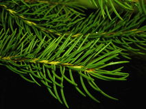 Blue fir-tree. Branch of a blue spruce Tien Shan on a black mirror Royalty Free Stock Photo