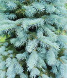 Blue fir tree Royalty Free Stock Image