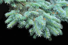 Blue fir tree, close up. Close up of blue fir tree branch royalty free stock image