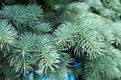 Blue fir tree, close up. Close up of blue fir tree branch royalty free stock photo