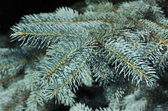 Blue fir tree, close up Royalty Free Stock Photos