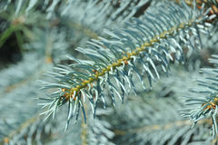 Blue fir tree, close up Stock Images