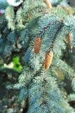 Blue fir tree Royalty Free Stock Photos