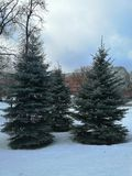 Blue fir trees in the Park in winter royalty free stock images