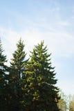 Blue fir-trees Stock Photo