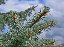 Blue fir twigs Stock Image