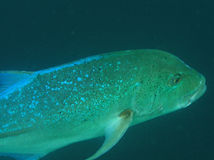 Blue fish. Close up of Big blue-green fish underwater Royalty Free Stock Photography