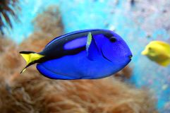 Blue fish. In an aquarium royalty free stock photo