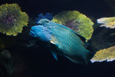 Blue fish Royalty Free Stock Photos