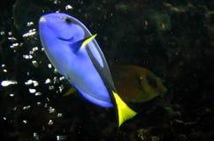 Blue Fish Stock Photos