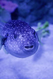 Blue Fish Stock Photos