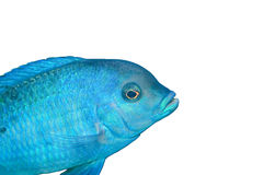 Blue fish. On a white background Stock Images