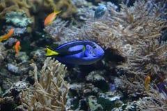 Blue Fish. Acuarium in budapest tropicarium Stock Images